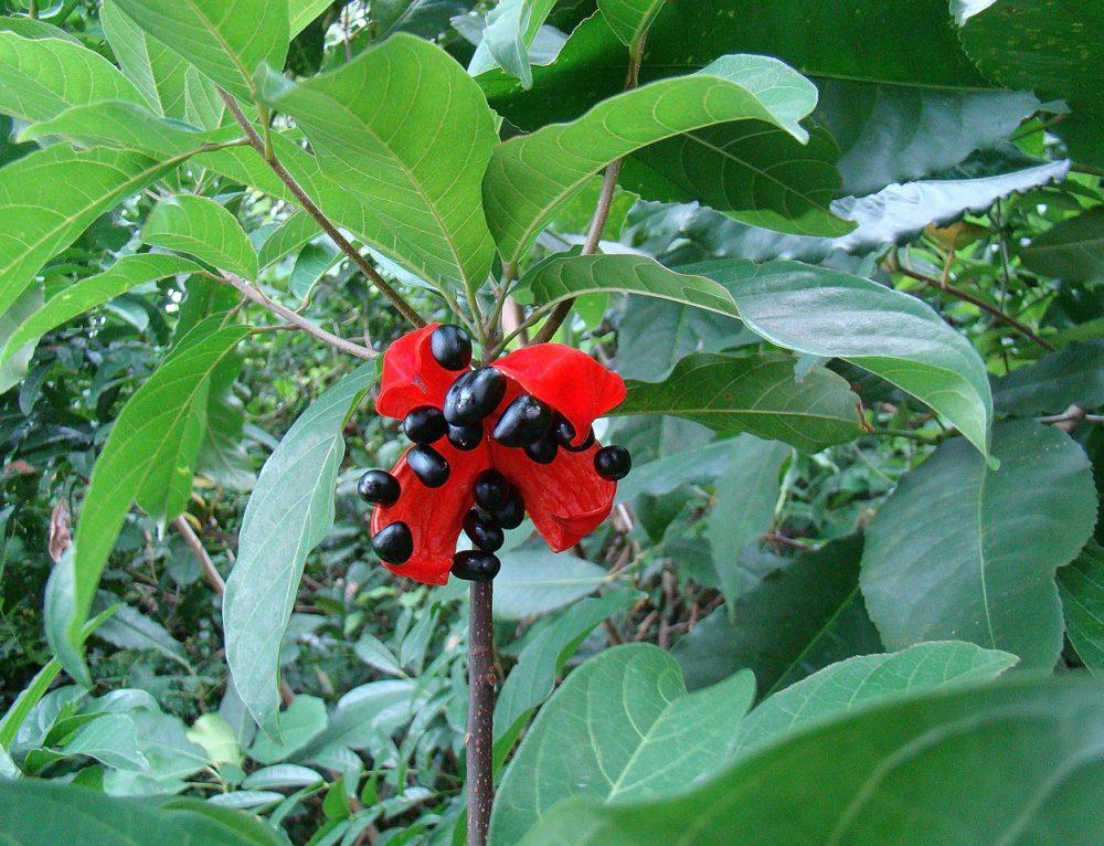 Cây sảng (Sterculia Lanceolata Cav) Thanh Sơn