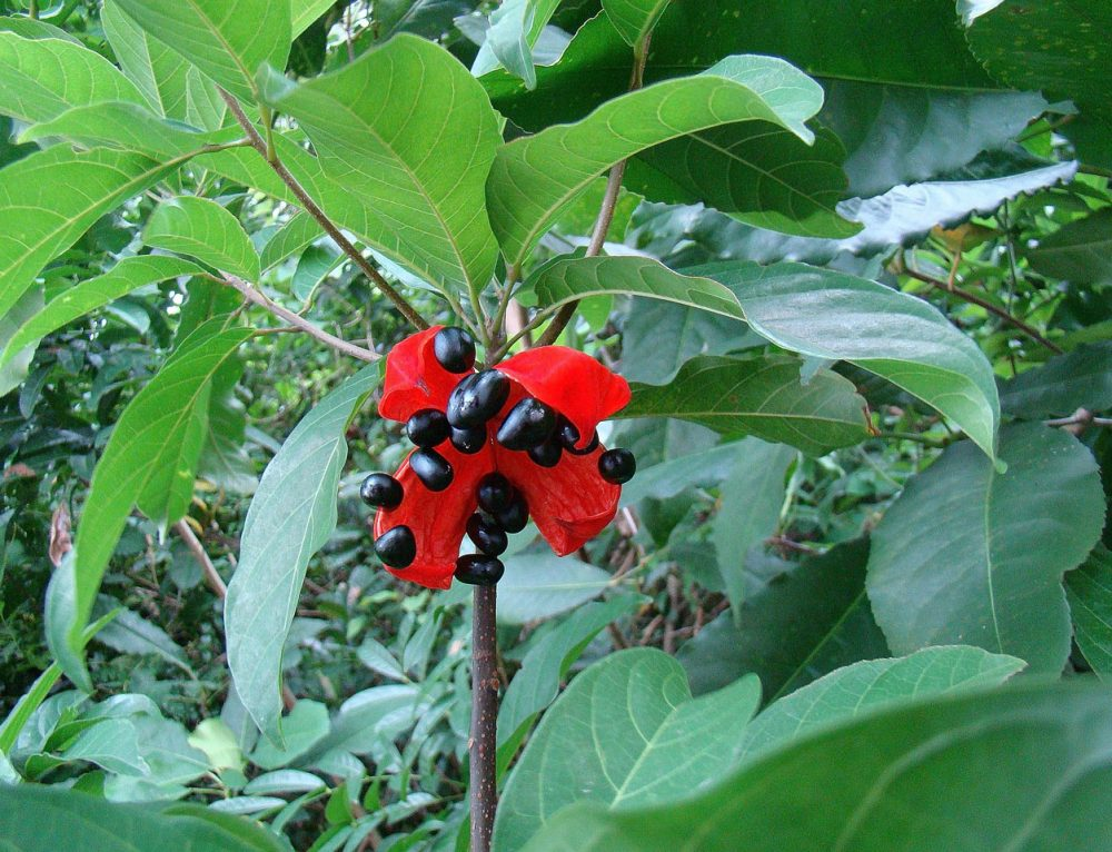 (Sterculia Lanceolata Cav) Thanh Sơn